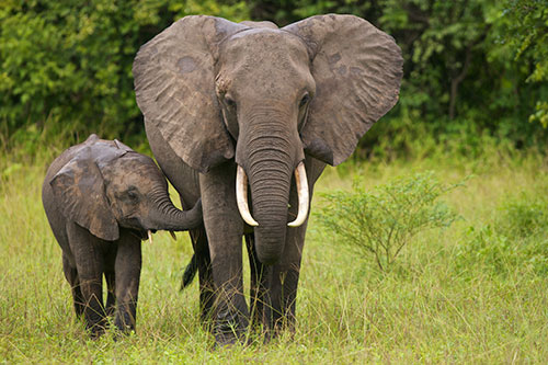Image of a mother and baby elephant